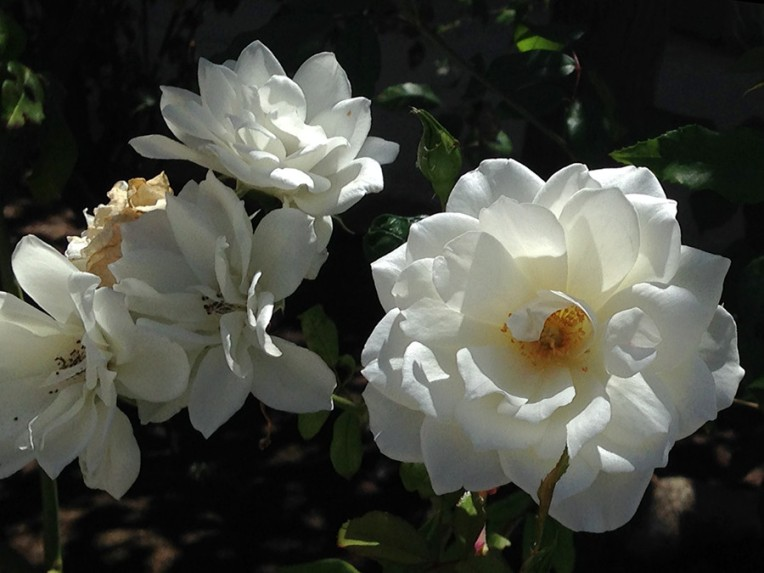 Photo of white roses on rosebushes